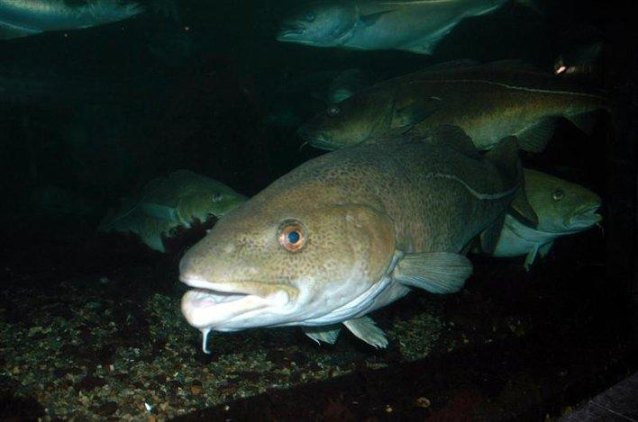 fisk mrd pinjekjerner